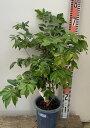 【現品】ジャボチカバ6号鉢植え(h5)
