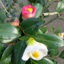 【現品】椿(ツバキ) 中部五色椿(チュウブゴシキツバキ) 1.6m 121659 《庭木や鉢植えとして人気な椿の苗木》