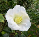 【現品】椿(ツバキ) 白侘助 (シロワビスケ)  1.8m 20263 《庭木や鉢植えとして人気な椿の苗木・植木》