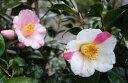 椿(ツバキ) 五色椿(ゴシキツバキ) 1.4m 《庭木や鉢植...