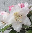 屋久島石楠花(ヤクシマシャクナゲ) 4.5号苗(a07)