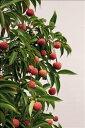 【現品】常緑ヤマボウシ「サマーグラッシー」1.7〜1.8m【厳選4種】