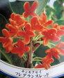 紅花キンモクセイ「フレグランスレッド」1.3m〜1.4m