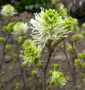白花マンサク フォサギラ