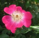 コウシンバラ 一重咲き