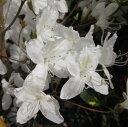 ミツバツツジ 白花 0.9?1m