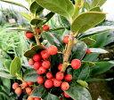 マルバチャイニーズホーリー(クリスマスホーリー) 5号鉢植え(e8)
