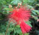 ネムノキ 赤花 3号苗 2個