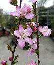 庭桜【庭梅(ニワウメ)】1.1〜1.2m