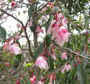 """椿(ツバキ)カメリア """"エリナカスケード"""" 1.2m 《庭木や鉢植えとして人気な椿の苗木・植木》"""
