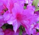 平戸ツツジ(ヒラドツツジ)紫 40cm×2本セット...
