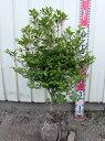ドウダンツツジ 苗木  60cm 《花、紅葉が美しい庭木、鉢...