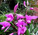 紫蘭(シラン)紫 5号苗
