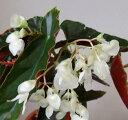 キダチベゴニア ホワイト 5号鉢