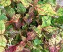 アルテルナンテラ キャツラマーキュリー(黄緑葉)3.5号ポット苗