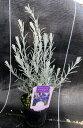 ホワイトツリー エレモフィラ ニベア 3号苗(h6)