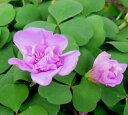 八重咲きオキザリス苗 ポンポン 3号苗(h6)
