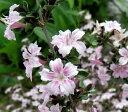 白丁花(ハクチョウゲ) ピンクポット苗(e7u)