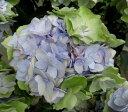 【送料無料】アジサイ(紫陽花・あじさい)  秋色ケイコ ブルー 8号【16年入荷株】(花に痛みあり)