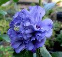ムクゲ 紫玉(シギョク)バイオレットウェーブ 6号