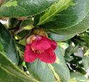 【現品】椿(ツバキ) 朝日の雪(アサヒノユキ)1.0m 32153 《庭木や鉢植えとして人気な椿の苗木・植木》