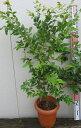ジャボチカバ7号鉢植え r(h5)