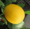 サイパンレモンの木 7号鉢植え 苗木(d6)