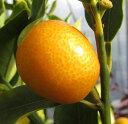 ぷちまる 種なしキンカン金柑 苗木 6号(h04)