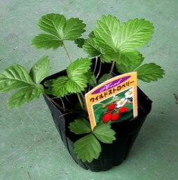 ワイルドストロベリー苗(西洋野生イチゴ苗) 赤実 「2個セット」