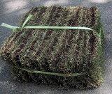 ヒメコウライシバ「張り芝」