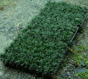 Three cases of ball dragon (Tama Ryu) seedlings () 】 removing 40 pot x3) 【 free shipping (Yamato Transport)