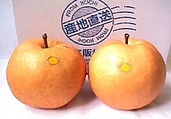 ★[産直高知県]針木産 高級 新高梨(はりぎさん にいたかなし)1kg×2玉★※9月25日以降からはじまります