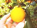 わけあり土佐小夏 ニューサマーオレンジ 日向夏 約5キロ 高知産 ご家庭用 M〜2Lサイズ