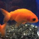 もみじらんちゅう 素赤 約4〜5cm 1匹/金魚 ランチュウ 生体