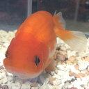 もみじらんちゅう 8cm前後 1匹/金魚 ランチュウ 生体 紅葉