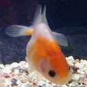もみじらんちゅう(当歳) 約6から7cm前後 1匹/金魚 ランチュウ 生体 紅葉 黒目