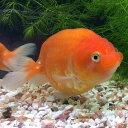 桜錦  8cm前後 1匹 /金魚 生体 淡水 らんちゅう型 赤、更紗