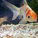 オランダシシガシラ  1匹/青文魚 金魚 生体 淡水魚 白黒赤 オランダシシガシラ