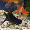 竜眼(りゅうがん)5から6cm前後(赤、更紗) 1匹/珍しい金魚 生体 平賀養魚場産 埼玉