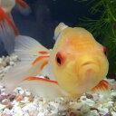 オランダシシガシラ白勝ち 7〜8cm前後 1匹/おらんだししがしら 平賀養魚場産 金魚 生体 淡水