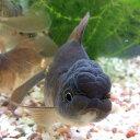 オランダシシガシラ(黒茶系) 1匹/金魚 生体 埼玉産 珍しい 観賞魚