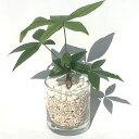 【ハイドルカルチャー 観葉植物】サークル80 サンゴ砂 パキラ