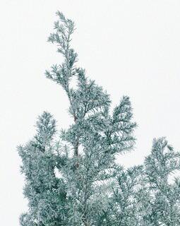 ソフトヒムロスギ フロッキーグリーン (約60g入り) 【プリザーブドフラワー】【花資材】【花材】【EARTHMATTERS】【大地農園】【松村工芸】【クリスマス】【ディスプレイ】【インテリア】【パーティ】【リース】【ツリー】