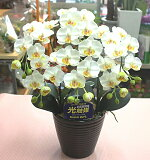 光触媒 胡蝶蘭 【造花】 [抗菌消臭]k3-1ミディ白3本立て
