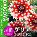 ガーデンダリア 2色咲き 祝盃(赤/白)【球根】1球袋詰め