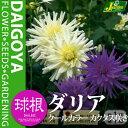 ガーデンダリア クールカラー カクタス咲き(白/紫)【球根】2球袋詰め