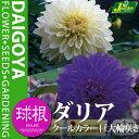 ガーデンダリア クールカラー 巨大輪咲き(白/紫)【球根】2球袋詰め