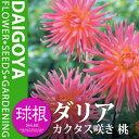 ガーデンダリア カクタス咲き 桃【球根】1球袋詰め