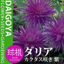 ガーデンダリア カクタス咲き 紫【球根】1球袋詰め