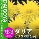 ガーデンダリア カクタス咲き 黄【球根】1球袋詰め